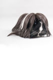 Guinea pig isolated Royalty Free Stock Image