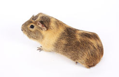 Guinea pig isolated Royalty Free Stock Photo