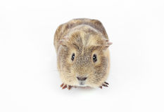 Guinea pig isolated Stock Photos