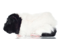 Guinea pig isolated Royalty Free Stock Photos