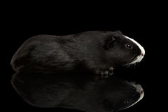 Guinea pig on isolated black background Royalty Free Stock Photo