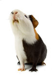 Guinea pig isolated on white Stock Images