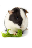 Guinea pig isolated on white stock image
