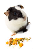 Guinea pig isolated on white Stock Photo