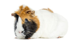Guinea Pig, isolated Stock Image