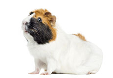 Guinea Pig, isolated Stock Images