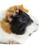 Guinea Pig, isolated Royalty Free Stock Photo