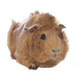 Guinea pig. Isolated on white Royalty Free Stock Photography