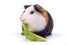Guinea pig isolated on white. Guinea pig eating green letuce isolated on white background Royalty Free Stock Photo