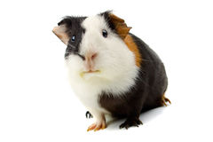 Guinea pig isolated on white Stock Photography
