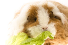 Guinea pig isolated on the white background Royalty Free Stock Photography