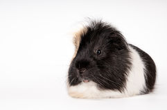 Guinea pig isolated on a white background Stock Photo