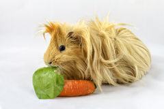 Guinea pig isolated on white royalty free stock photo