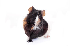 Guinea Pig isolated on white Royalty Free Stock Photos