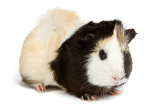 Guinea pig isolated on white background Stock Photos