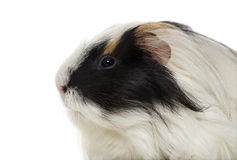 Guinea Pig isolated on white Stock Image