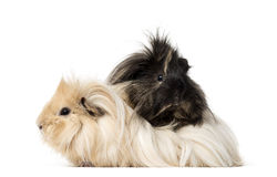 Guinea Pig isolated on white Royalty Free Stock Images