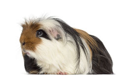 Guinea Pig isolated on white Stock Photos