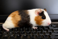 Guinea pig on keyboard Royalty Free Stock Photography