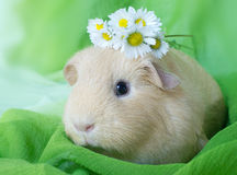 Guinea pig lady Stock Image