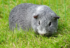Guinea pig on lawn Royalty Free Stock Photo