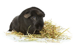 Guinea pig laying in hay Royalty Free Stock Photography