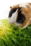 Guinea pig in lettuce Stock Photos