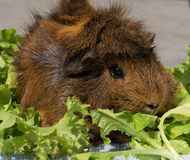 Guinea pig on lettuce Royalty Free Stock Photography