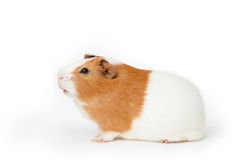Guinea-pig on the light background Royalty Free Stock Photography