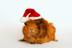 Guinea pig like Santa Claus Royalty Free Stock Photos