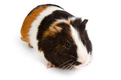 Guinea pig little pet rodent. Guinea pig isolated on white background Stock Photos