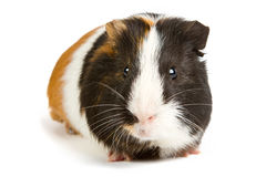 Guinea pig little pet rodent. Guinea pig isolated on white background Royalty Free Stock Photography
