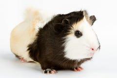 Guinea pig Stock Photos