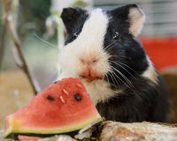 Guinea pig. A little guinea pig quietly eating a slice of watermelon Stock Photo