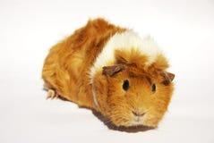 Guinea pig_03 Stock Photos
