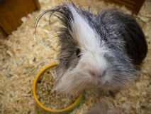 Guinea pig with long hair glancing down at camera. Cute guinea pig with long hair glancing down at camera Stock Photos