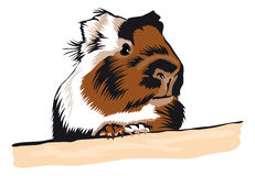 Guinea Pig looking around. Portrait Royalty Free Stock Photography
