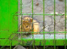 Guinea pig looking from a cage stock image