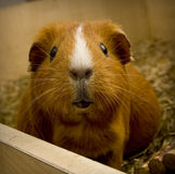 Guinea pig. Guinea-pig looking in camera Stock Images