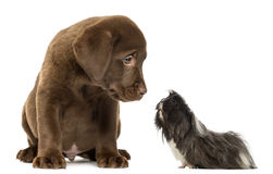 Guinea pig looking at a Labrador Retriever Puppy Royalty Free Stock Photography