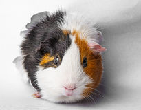 Guinea pig looks through a hole in paper Royalty Free Stock Photography