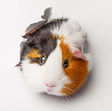 Guinea pig looks through a hole in paper Royalty Free Stock Photo