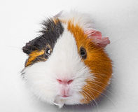 Guinea pig looks through a hole in paper Stock Photos