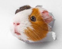 Guinea pig looks through a hole in paper Royalty Free Stock Photos
