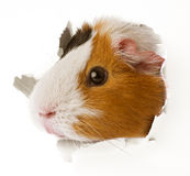 Guinea pig looks through a hole in paper Stock Image