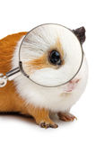 Guinea pig looks throught a magnifying glass Royalty Free Stock Photos