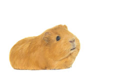 Guinea pig looks Royalty Free Stock Photography