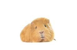 Guinea pig looks Royalty Free Stock Photo