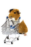Guinea pig is making shopping with a shopping car Stock Photography