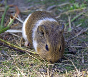Guinea pig is a mammal rodent Guinea Peru Royalty Free Stock Image
